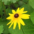 Jerusalem artichoke or girasol (Helianthus tuberosus) — Stock Photo #10176046