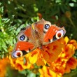 Stock Photo: European Peacock butterfly (Inachis io)