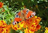 European Peacock butterfly (Inachis io) — Foto Stock