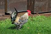 Piękne kura — Zdjęcie stockowe