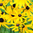 Jerusalem artichoke or girasol (Helianthus tuberosus) — Stock Photo #8569276