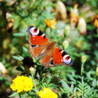 Royalty-Free Stock Photo: European Peacock butterfly (Inachis io)