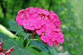Hydrangea blossom — Stock Photo