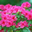 Azalea blossom — Stock Photo