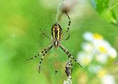 Wasp spider (Argiope bruennichi) with victim — Stock Photo
