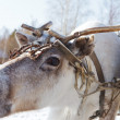 Reindeer — Stock Photo #10047755