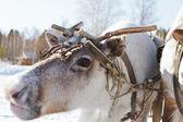The reindeer — Stock fotografie