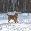 Portrait of gold retriever in nature on snow — Stock Photo #10583935