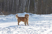 Portrait of a gold retriever in the nature on snow — Stock Photo