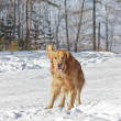 Beautiful Golden Retriever dog playing in white snow - Stock Photo