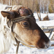 Stock Photo: Young reindeer male with disappeared horns and wounds on the