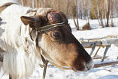 Young reindeer male with the disappeared horns and wounds on the — Stock Photo