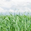 Leaves of green grass on background blue sky — Stock Photo