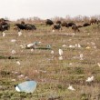 A flock of sheep grazing on the contaminated field — Stock Photo