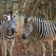 Zebra — Stock Photo #8133835