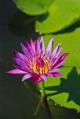 Purple lotus — Fotografia Stock
