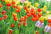 Tulip — Photo