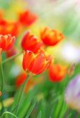 Tulpe — Stockfoto