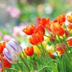 Tulip garden — Stock Photo #8491588