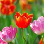 Tulip garden — Stock Photo #8492463
