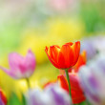 Tulip garden — Stock Photo #8492500