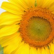 sun flower — Stock Photo #8717594