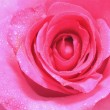 Pink rose - Stockfoto