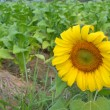 sun flower — Stock Photo #8735006
