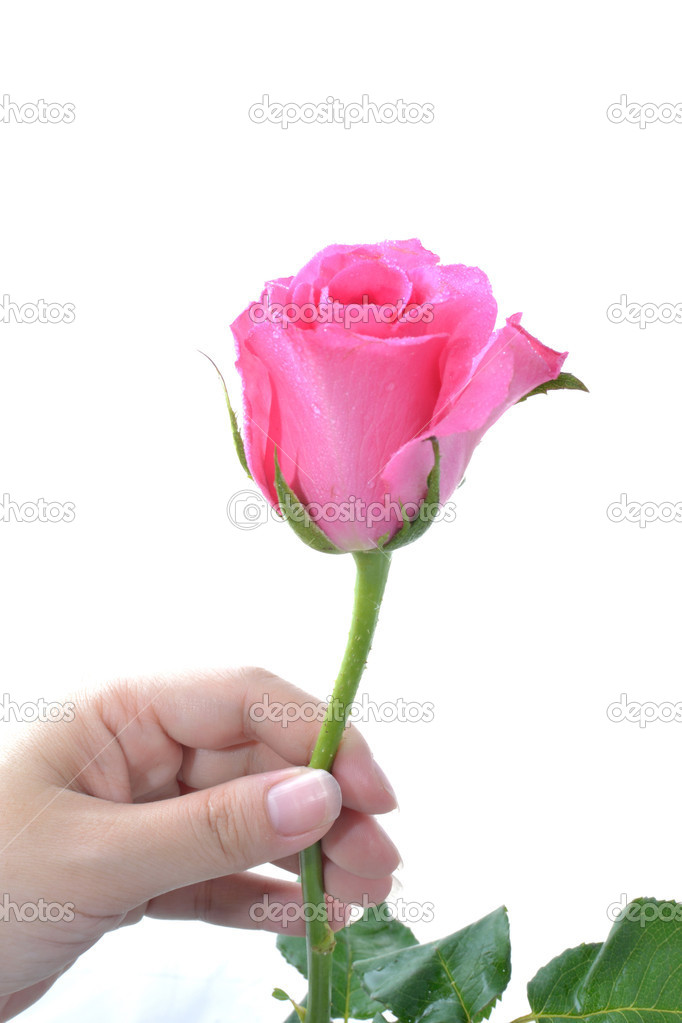 One pink rose in woman hand on white background.  Stock Photo #8749299