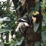 Hornbill — Stock fotografie