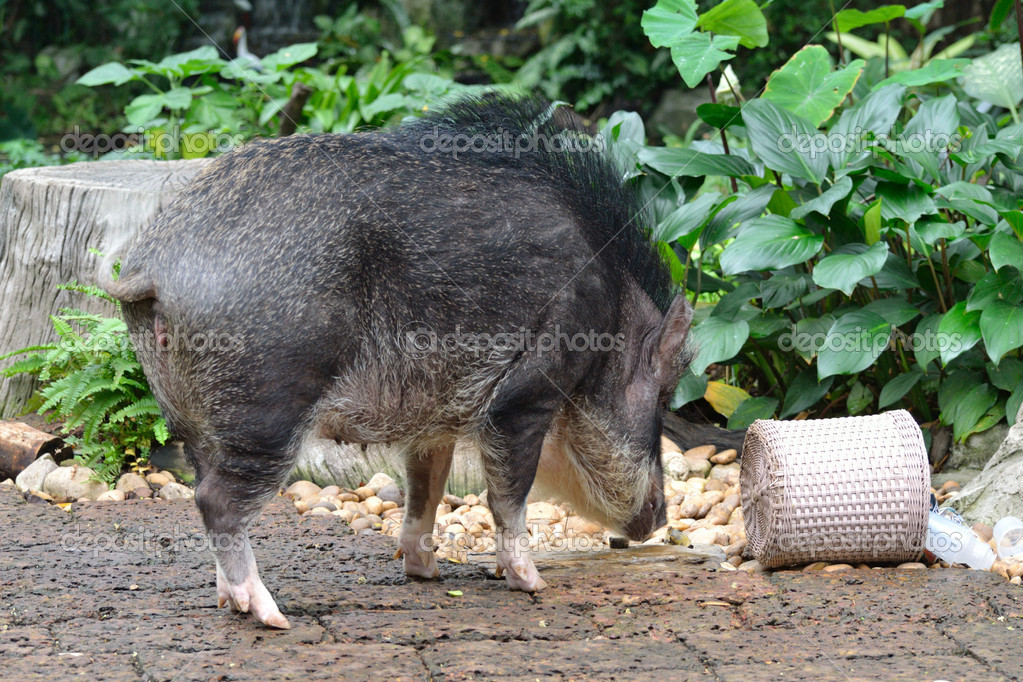 Wild pig activity in the zoo.  Stock Photo #9885729