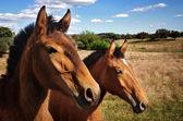 Breed of horses — Stock Photo