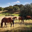 Breed of horses - Foto Stock