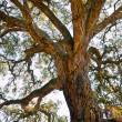 Centenarian cork tree - Stock Photo