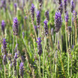 Lavender flowers - Foto Stock