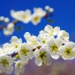 Almond Blossom — Stock Photo #9825837