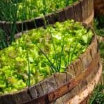 Lettuce Culture — Stock Photo