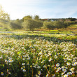 Landscape with Daisies - Stock Photo