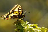 Monarch kelebek — Stok fotoğraf