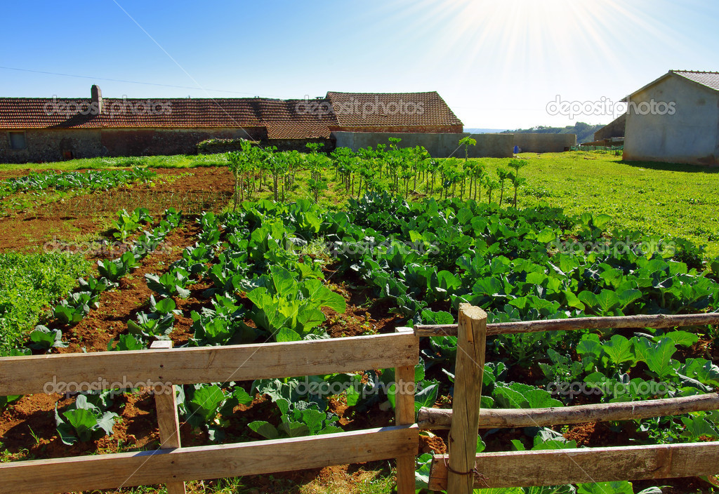 View of a rural farm with lettuce and cabbage cultures growing under the sunlight  Stock Photo #9825877