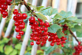 Red ripe currant on a branch. — Stock Photo
