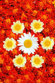 White and yellow daisies in the middle of french marigold — Stock Photo