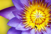 Purple water lily with yellow stamens and honeybee — Stock Photo