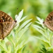 Two beautiful spotted butterflies relax on a plant — Stock Photo