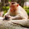 Indian macaque monkey in forest with eyes closed — Stock Photo