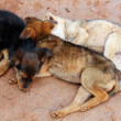 Stock Photo: Young street dogs huddling together and sleeping