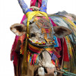Indian cow decorated with colorful cloth, jewelry — Stock Photo #10569190