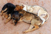 Young street dogs huddling together and sleeping — Stock Photo