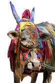 Indische kuh dekoriert mit bunten tuch, schmuck — Stockfoto