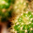 Stock Photo: Vibrant green grusonii cactus macro with spines